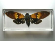 AMBRAGAEANA AMBRA. Real Cicada insect embedded in clear epoxy resin.