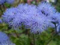 30 Semillas de Agerato Azul (Ageratum Houstonianum)