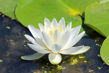 BEAUTIFUL WHITE  WATERLILY FINE ART GREETING CARD
