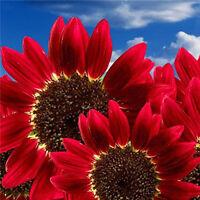 15x Samen Rot Sonnenblume Abendrot Abendsonnen  HELIANTHUS ANNUUS-Red Sun S R5Y8