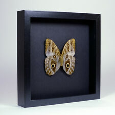 Real taxidermy butterfly mounted in elegant black wooden frame - Caligo sp.