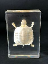 Skeleton of a Turtle - Articulated - Specimen Display - Taxidermy