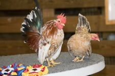 6+ Hatching Eggs - Exhibition Serama - WOODFIELD BANTAMS - White Blue CocoaPop