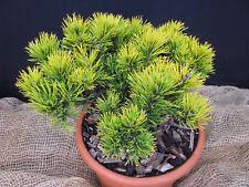 Wintergelbe Zwerg Bergkiefer Pinus mugo Carstens Wintergold 25-30cm Nadelgehölz