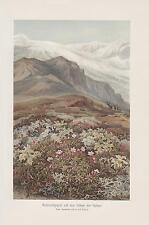 Azaleen im Gebirge Rhododendren Kjölen Norwegen LITHOGRAPHIE von 1898 Botanik