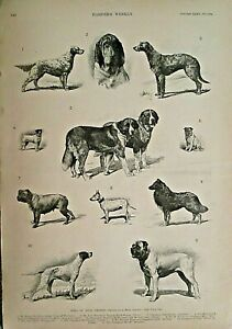SHOW DOGS, Dogs Of High Degree, Pug, Bulldog, Terrier, w/text 1891 Antique Print
