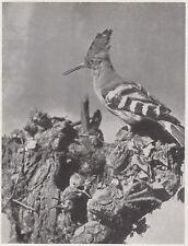 D6038 Un nido di Upupa - Stampa d'epoca - 1933 vintage print