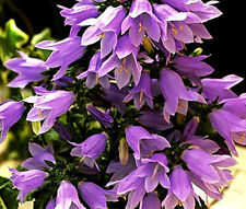 BELLFLOWER LAVENDER ISABELLA Campanula Longistyla - 10 Seeds