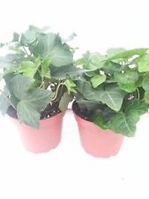 """Two Ivy Plants Baltic English Hardy Groundcover 4""""Pot Plant Hedera Helix Outdoor"""