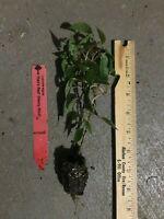 Ken's Red Kiwi -Female (Actinidia arguta) 1 TC Plant/Plug- 4-6in - Edible Fruit!