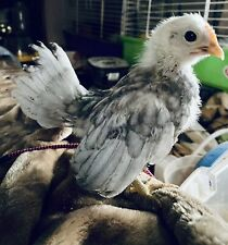 6  🐣 💯 PURE Serama Hatching Eggs ❣HEN'S CHOICE Assortment