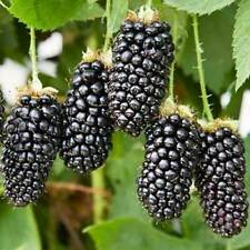 "Blackberry ""Agawam"" Seeds Organic Plants Tasty Fruit Seeds Home Garden Bonsai"