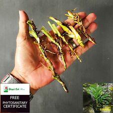 4 Rare Cuttings Stem Rhaphidophora Tenuis Aroid Tropical Plant - Free PHYTO