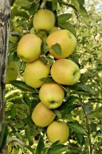 3 X GENUINE SEEDS Dwarf English Apple Tree Seeds Golden Delicious Organic Bio