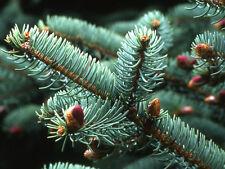 Picea crassifolia QINGHAI SPRUCE Seeds!