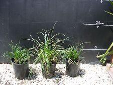 Plants Mondo Grass   120- 140mm pots   $4-00 ea    GREAT PRICE