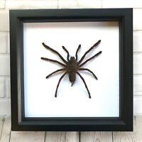 Giant Tarantula Bird Eating Spider (Haplopelma minax) Deep Shadow Frame Display