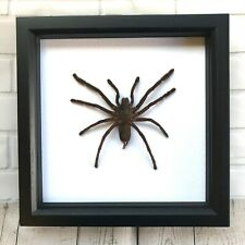 Giant Tarantula Bird Eating Spider (Haplopelma minax) Deep Shadow Frame Display