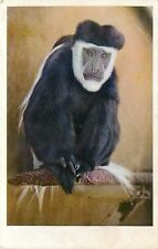 1930s Printed Postcard; Colobus Monkey Chief Source of Monkey Fur San Diego Zoo