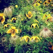 3 Clematis tangutica 'Bill Mackenzie' Plug Plants Climbing Vine Flowering shrub