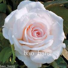 Hot Sale 30Pcs Fresh White Rose Valentine Flower Seeds Garden Home Plant Flowers