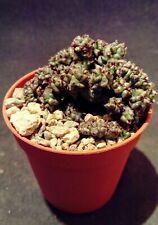 euphorbia enopla cristata plant succulent 6cm pot