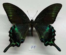 Papilionidae Papilio maacki a1 male Chine mounted
