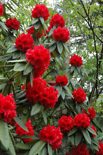 RHODODENDRON 'TAURUS' - STARTER PLANT -  APPROX 6-7 INCH