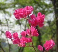 Kletterpflanze  i! KORALLENWEIN !i schnellwüchsig und immergrün ein Blütenmeer.