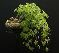 Japanese Ivy! Fast growing climber! Also great as a bonsai! hardy, Fresh seeds