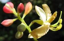 Früchte im Wohnzimmer: i! TAMARINDEN-FRÜCHTE !i selber ziehen - Zimmerpflanze