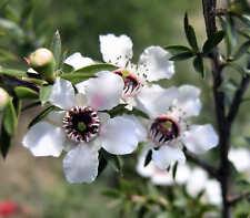 Manuka Seed Leptospermum scoparium Shrub to 2m Frost Tolerant to -7°C Medicinal