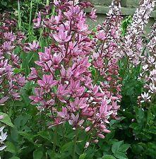 Burning Bush Seeds - Dictamnus Fraxinella Flower Seeds 50 seeds