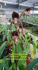QOB Orchid Flask Multiflorous Paphiopedilum Hsinying Anita x rothschildianum