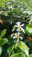 Asian Star Jasmine, Lot of 10 plants