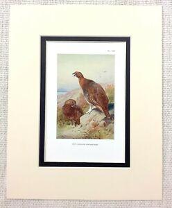 Antik Spiel Vogelmuster Rot Grouse Fowl Vögel Land Pursuits Circa 1929