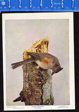 TUFTED TITMOUSE Bird- 1899 Nature Bird Print PLUS Bonus