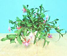 Christmas Cactus Hanging Flowering Plant Purple Lavender Red Green Leaves