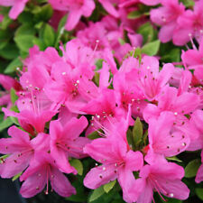 3 X AZALEA 'GEISHA PINK' JAPANESE EVERGREEN SHRUB HARDY PLANT IN POT