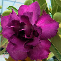 """Adenium Grafted plant  5.5 inch, SSN-60 """"Namchok""""   in Actual color-"""