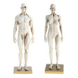 11.8'' Male/Female Anatomy Figure Anatomical Reference for Medical School Lab