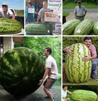 15 SEMI ANGURIA GIGANTE GUINNESS WORLD RECORD + OMAGGIO