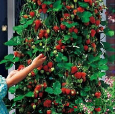 100pcs Everbearing Strawberry Climbing Strawberry Fruit Plant Seeds Home Garden