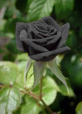20 Black Rare Rose Fresh Seeds, Exotic Home Garden Plant Black Rose Flower Seeds