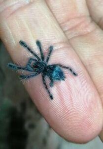Tarantula live food! C Versicolor aka 'Pinktoe.' 1cm Spider ling/Sling (Unsexed)