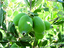 Pianta da Frutto Feijoa Autofertile Piante Alberi da Frutta Esotici Sempreverde