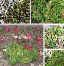 Saxifraga-Mix, mezcla, 25 semillas, del rey, jardín piedra, duro invierno