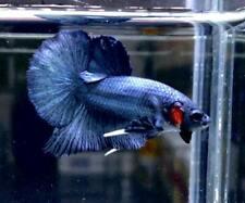 Top Grade AAA+ Premium Live Betta Fish : Male HMPK Blue Steel