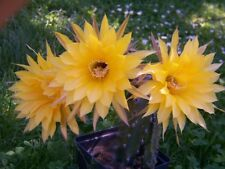 "Echinopsis Hybride hybrid "" Frühlingssonne "" KE.32.1999.WH.6 original Blüte 18cm"