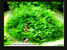 Round Pellia - live aquarium plant for driftwood AO